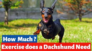 How much Exercise does a Dachshund need? | Physical Stimulation for Dachshund |