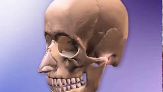Соединение костей черепа.(Синартроз/synarthrosis)