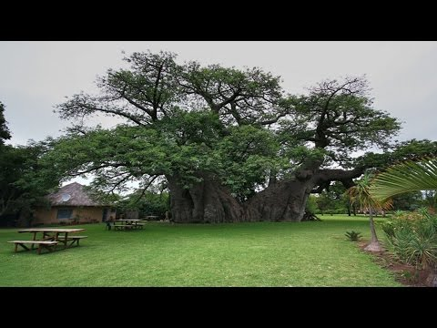 Sunland Baobab A Bar Inside a Hollowed Out Tree – Around The World