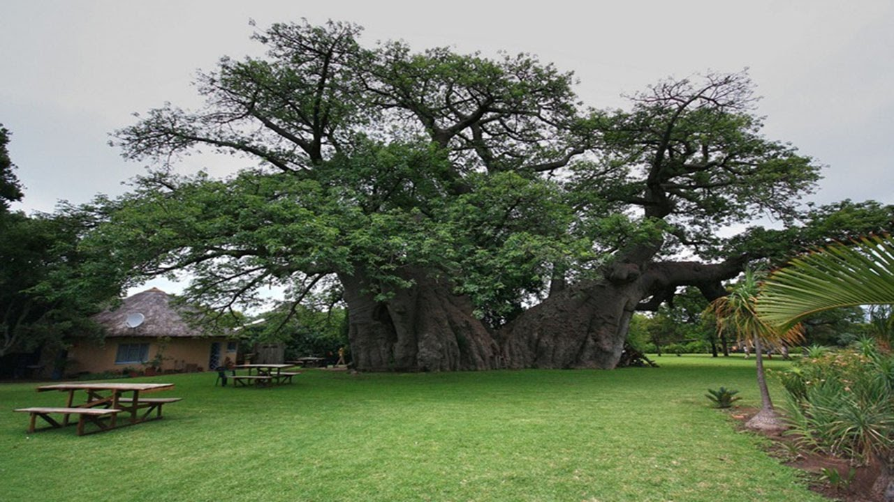 баобаб фото дерево