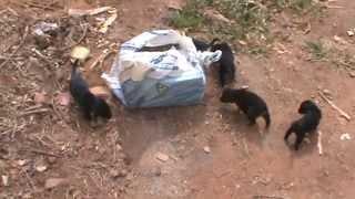 Maldade - Filhotes de cachorro são abandonados dentro de saco amarrado como se fosse lixo.