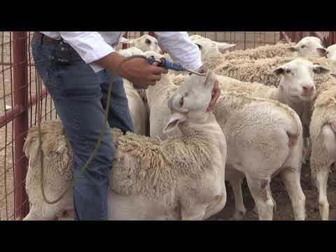 Reid Redden - Sheep & Goat - Drenching For Parasites