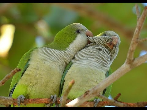 Baby Quaker Parrots quacking 'Budgie Whisperer' Allin1ish