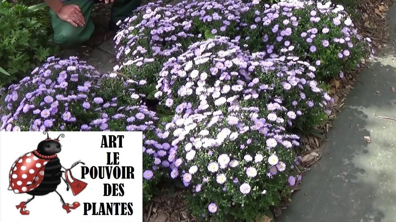 chaine de jardinage aster comment faire la taille et entretien plantes vivaces youtube. Black Bedroom Furniture Sets. Home Design Ideas