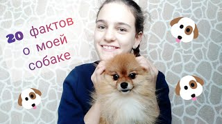 20 фактов о моей собаке// карликовый померанский шпиц