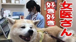 秋田犬女医さん大好きデレデレ♪動物病院JAPANESEAKITA