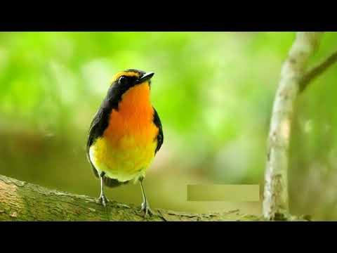 Forest Birds Ringtone | Free Ringtones Download
