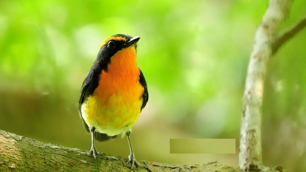 bird singing ringtone download mp3