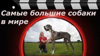 Самые большие собаки в мире.