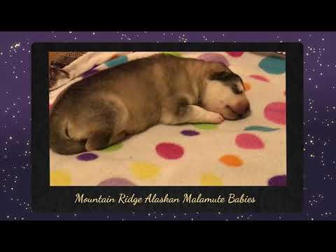 Alaskan Malamute Puppies - Worlds Cutest Malamute Puppies