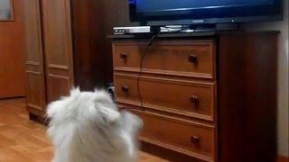 Dog watching Sex Tape / Пес смотрит фильм Домашнее видео