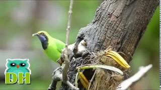 Gambar cover Kehidupan Burung Cucak Ijo di Alam Liar