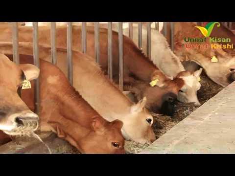 Best Dairy farm of jersey cow  | Average  Milking 25 lt