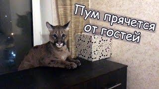 Пум прячется от гостей / Радостный Пумыч и ночные пососушки) / Scared and affectionate cougar