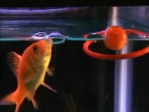Trained Fish Does Amazing Tricks