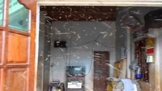 Ong rừng bay vào nhà làm tổ