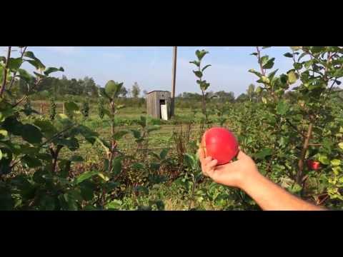 Сорт яблони Медуница фото, отзывы, описание, характеристики
