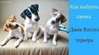 Как выбрать щенка Джек Рессел терьера | Купить щенка Джек Рассел терьера