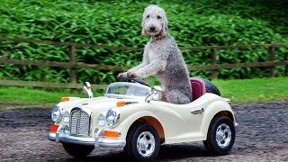 Dog Drives Mini Rolls Royce