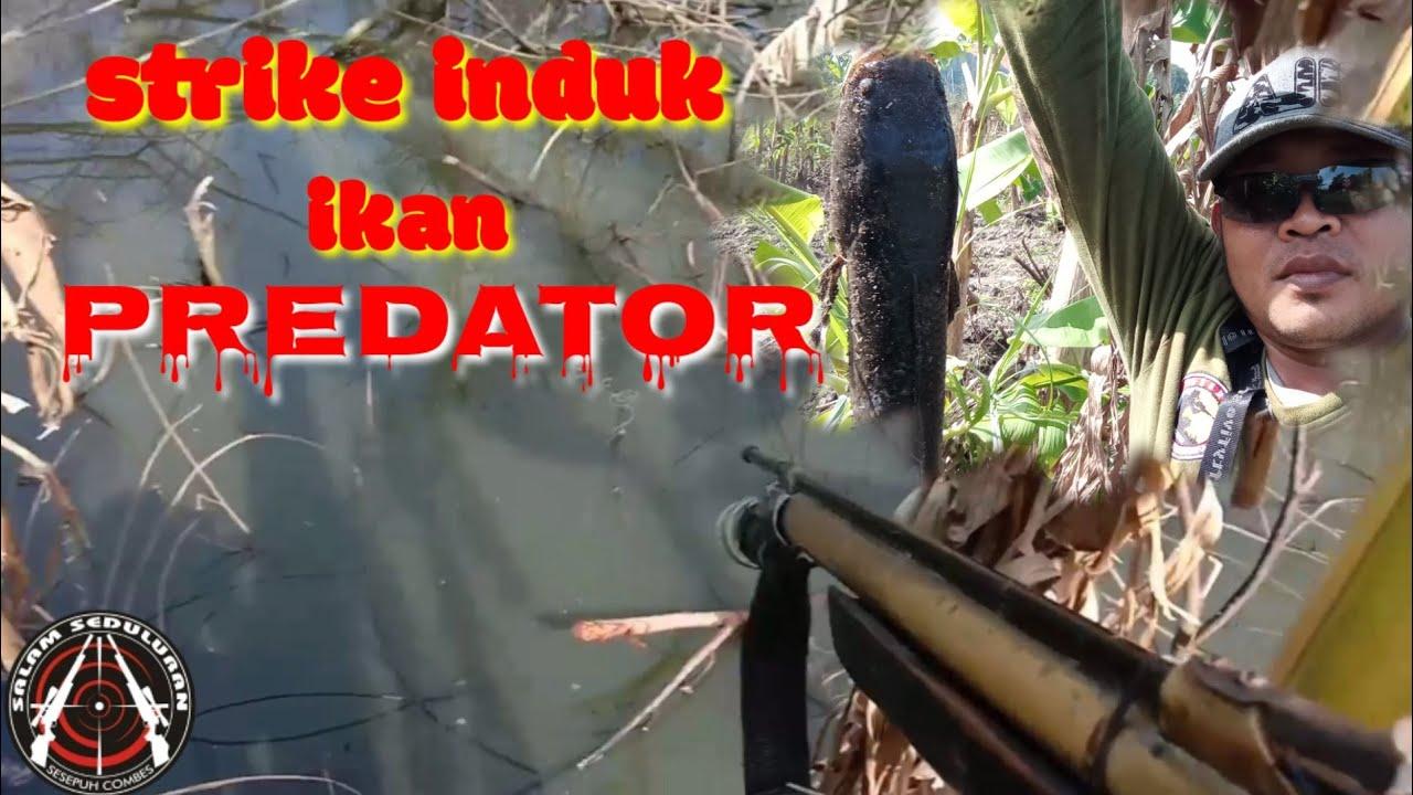 Strike induk ikan predator