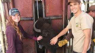 Wild West bison roundup: BYU studies Utah's largest mammal