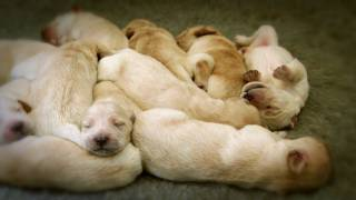 Golden Retriever Puppies - Week 1