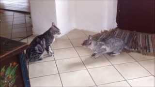 Savannah Cat TV - Savannah Fight Song (Battle)