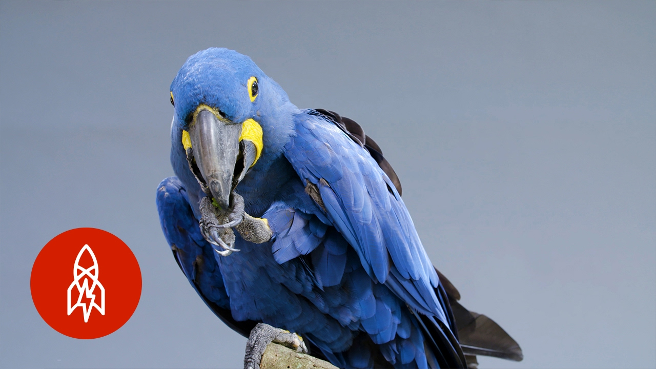 meet the biggest and bluest parrot in the world youtube