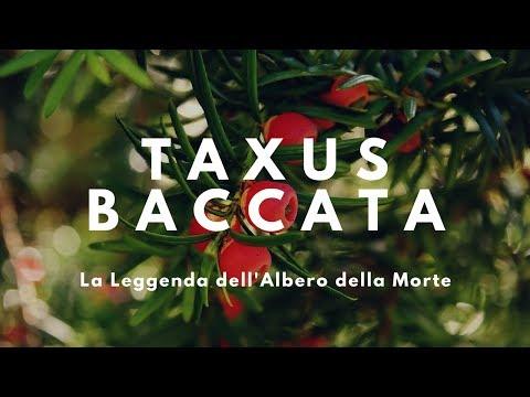 TAXUS BACCATA, La Leggenda dell'Albero della Morte