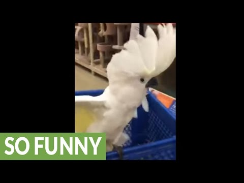 Cockatoo goes off on cats at pet store