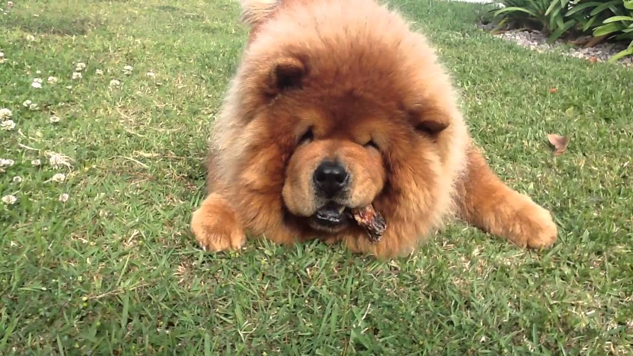 R Chow Chows Mean Red Foo -Our Red Fu - ...