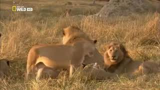 Дикий мир #DenV.  Батсвана Братство львов National Geographic Wild #DenV.