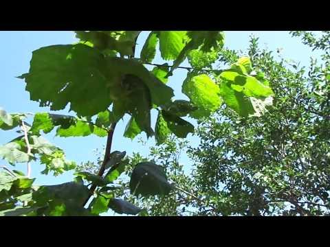 Формировка фундука: дерево или куст.