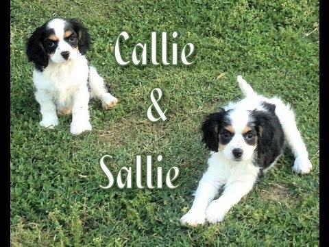 callie-&-sallie---two-beautiful-cavachon-puppies