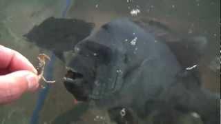 活スガニ(イワガニ)を捕食する石鯛