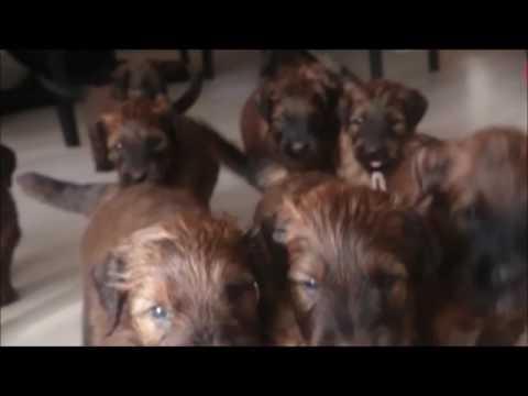 Briard Puppies Stream - Berger de Brie (owczarek francuski)