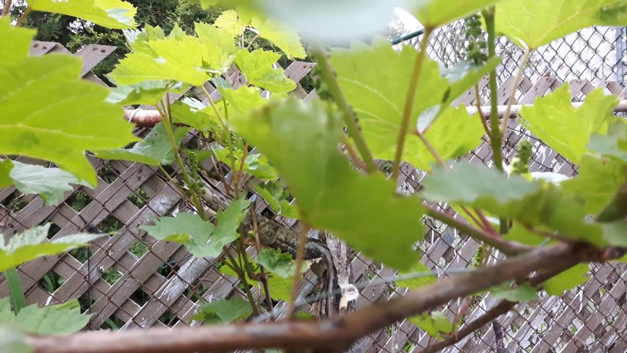 growing grapes in backyard ontario canada youtube