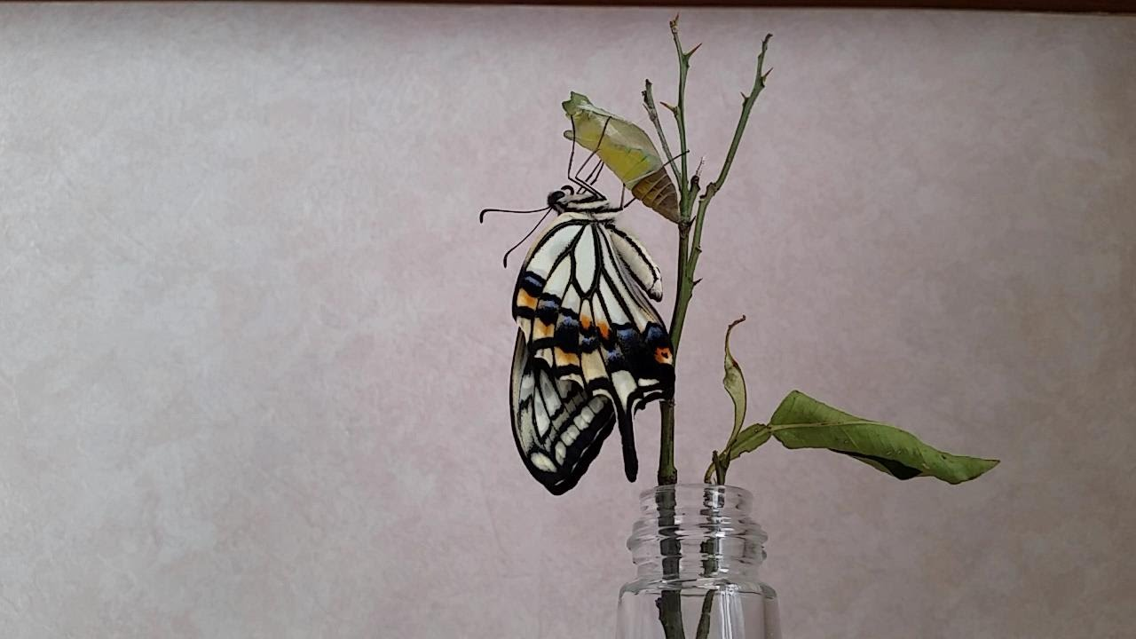 swallowtail butterfly youtube. Black Bedroom Furniture Sets. Home Design Ideas