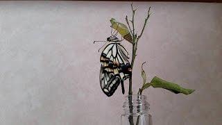 アゲハチョウがさなぎから蝶になる動画.