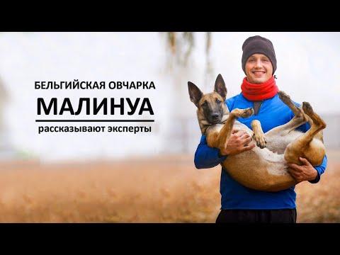 Бельгийская овчарка МАЛИНУА. Рассказывают эксперты
