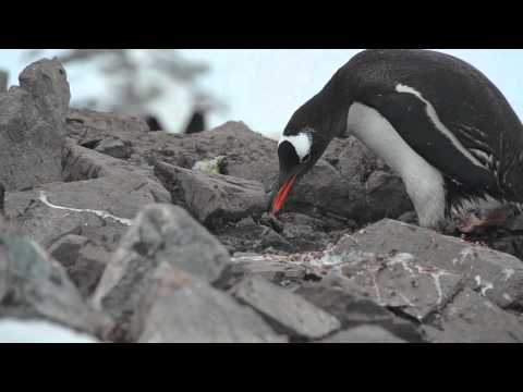 The Pebble-gathering Penguins of Cuverville Island, Antarctica