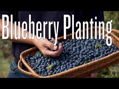 Planting Blueberries in Containers
