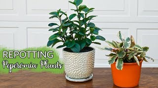 Repotting Peperomias: What You Need To Know & The Mix They Like Best / Joy Us garden