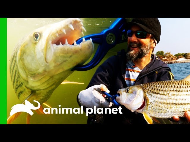 Fishing For Magnificent Tiger Fish Near A Remote Zambian Village | Fish Or Die