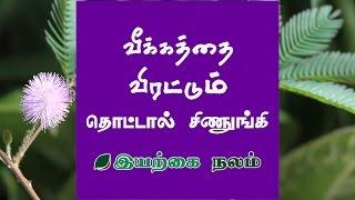 Thotta Chinungi Plant | Thotta Chinungi Plant Uses in Tamil | Mimosa pudica Medicinal Uses