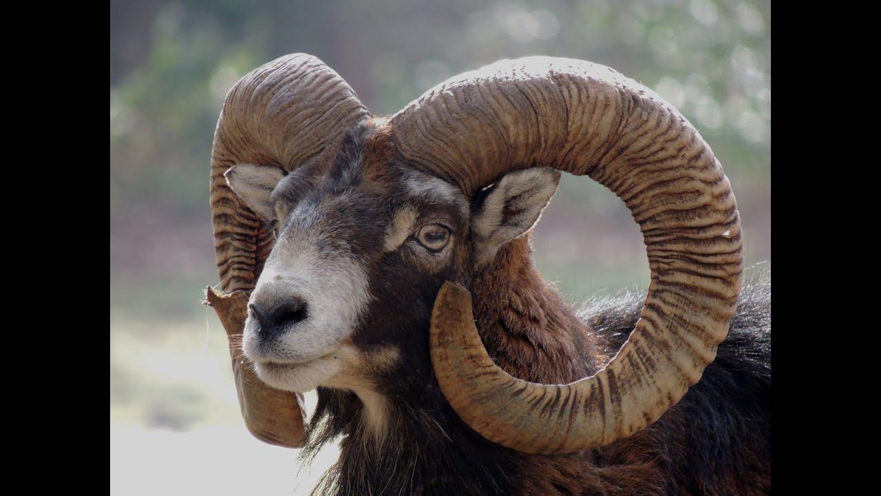 Le Mouflon Corse Youtube