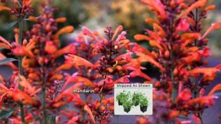 Cottage Farms 4-pc Perpetuals Fragrant Kudos Hummingbird Mint Garden with Jennifer Coffey