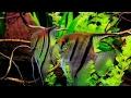 Riproduzione Pterophyllum Scalare