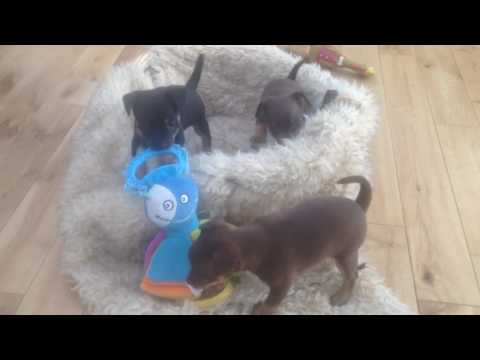 Russian Toy Terrier Puppies