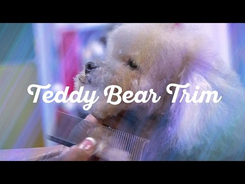 Toy Poodle in a Teddy Bear Trim